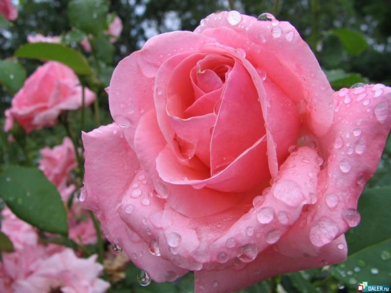 A rosa dasemana
